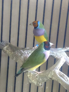 Young Gouldian Finch pair