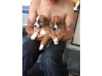 Plummer terrier puppies