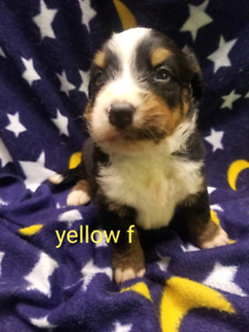 Champion-Lined CKC registered Bernese Mountain Dog Puppies!