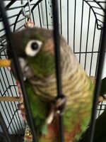 4 green cheek conures 2 parents and 2 babies