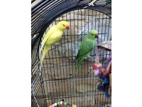 Indian Ringneck Parrots For Sale (Pair)