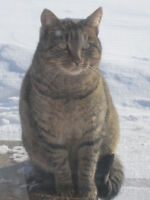 Lovely adult female tabby to give away