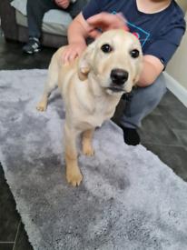 5mth old female Labrador retriever