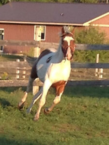 Two year old paint gelding Peterborough Peterborough Area image 2