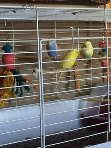 Pure yellow parakeet for sale