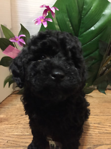 Poodle Puppy-if you see me I'm available
