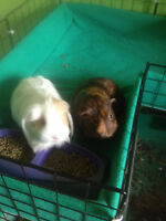 Bonded pair of female guinea pigs for adoption