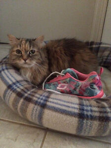 Cassidy - 15 yr old declawed long hair calico - lost!!!