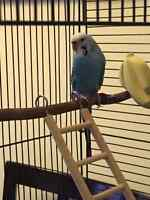 5 year old female budgie looking for a good home