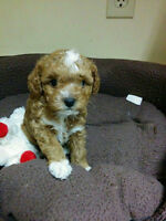 Female toy poodle puppy