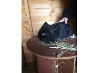 Rabbits for sale 3 lion heads 1 large