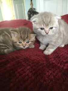 Scottish Fold Kittens for Sale !!!