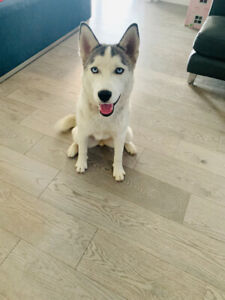 Pomsky | Adopt Dogs & Puppies Locally in Alberta | Kijiji Classifieds
