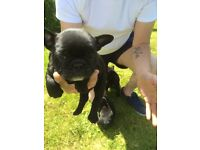 *reduced price* French bulldog puppies