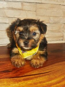 --**Au Paradis des morkies--** Morkie disponible maintenant