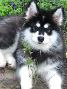 8 Month old neutered male Alaskan Malamute needs a new home