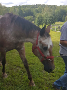 13 year old registered appaloosa mare