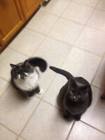 2 Male Cats - Domestic Short Hair Russian Blue
