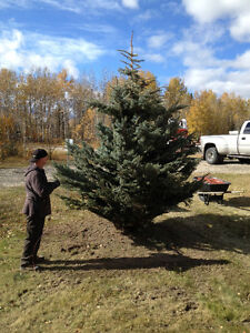 Colorado Blue Spruce!!! Supplied and Planted