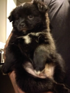 ONLY 2 left Pom/Pug Puppies ready to go home today!