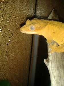 **Crested Gecko for sale.**