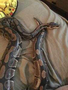 Adult Female Ball Python (Comes with everything)