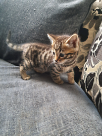 3 Bengal X BSH kittens all male