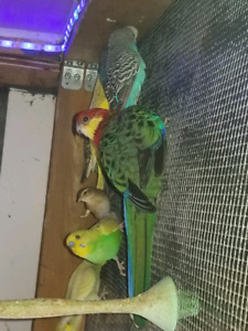 young budgies....5 $ each...