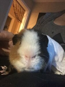 MALE GUINEA PIG AND All ACCESSORIES