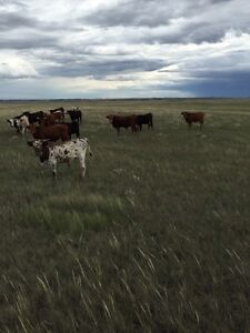 I have 650ib steers for sale and a fiew longhorn heifers