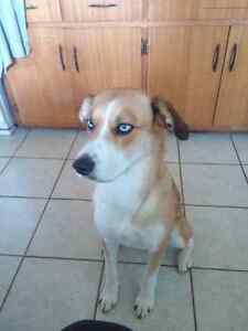 Looking to rehome Husky Shepard mix