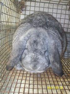recherche lapin belier français