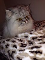 Persian cat looking for a home