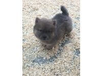 Blues and reds chow chow puppies