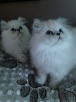 CCA REGISTERED BLUE HIMALAYAN MALE KITTENS