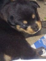 Rottweiler/Shepard pups for sale