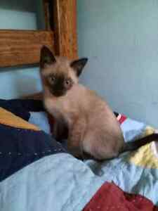 Purebred seal point siamese