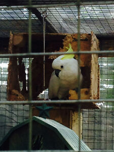 Cockatoo- missing her buddy