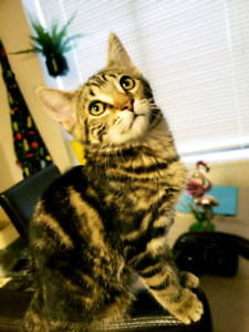Female bengal for sale