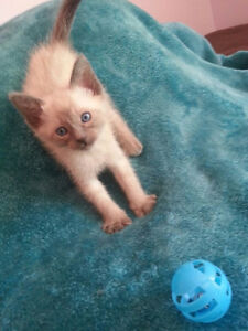 Beautiful Blue Point Siamese Kittens