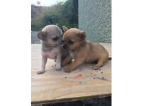 Tea cup chihuahua puppies for sale