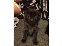 Black/ grey kittens
