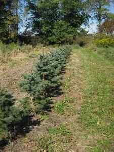TREES - Wholesale Prices - Col. Blue, White Pine & Birch