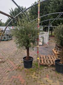 Large bushy olive trees. UK Plant passports.