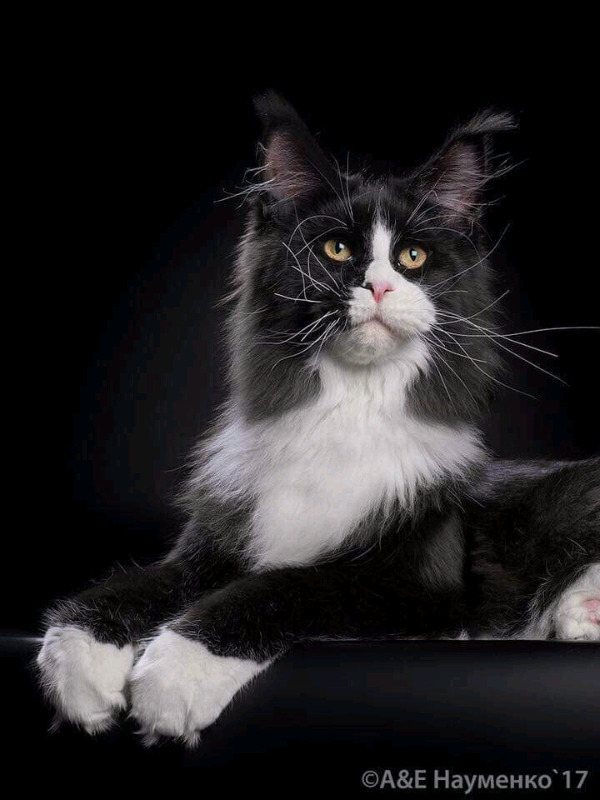 Registered purebred Maine Coon kittens