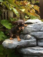Chihuahua X toy fox terriers puppies ready now PRICE FIRM
