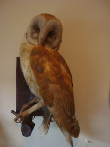 Beautiful Mounted Owls - Horned  and Barn Owls