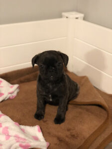 Beautiful French Pug puppy!   1 brindle girl left❤️