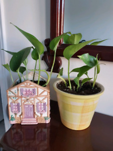 $10 each real air purifying plants..money plants pothos