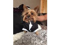Small wedding suit for a Wee pup